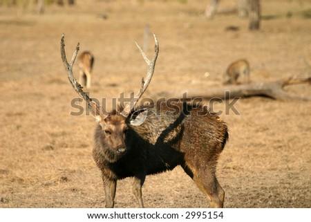 Sambar deer (Cervus unicolor), Ranthambore National Park, Rajasthan, India - stock photo