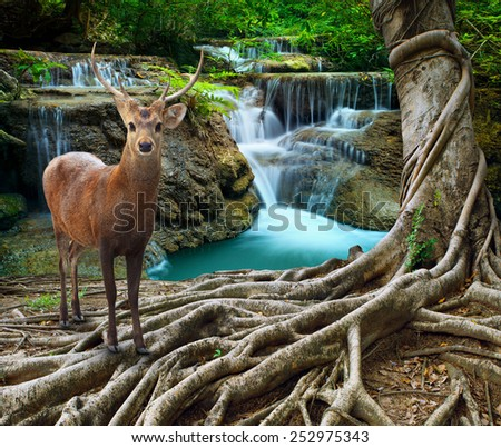 sambar deer standing beside bayan tree root in front of lime stone water falls at deep and purity forest use for wild life in nature theme - stock photo