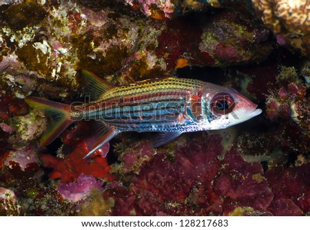Sammara squirrelfish (Neoniphon sammara) in the Red Sea, Egypt. - stock photo