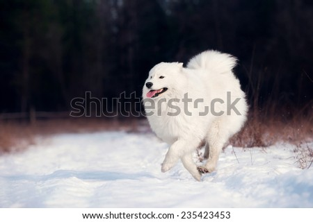 Samoyed dog - stock photo