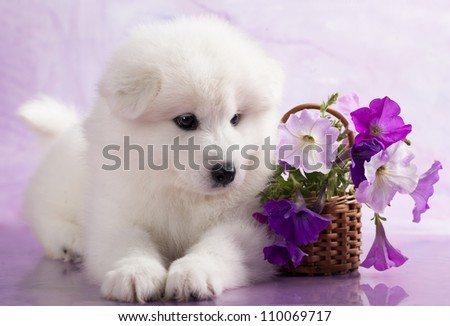 Samoyed dog in studio on a purple background and flowers - stock photo