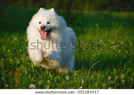 Samoyed Dog runs happy in evening light over the meadow  - stock photo