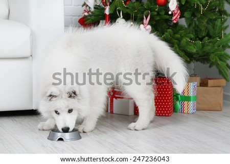 Samoyed dog with metal bowl in room with Christmas tree and white sofa on background - stock photo