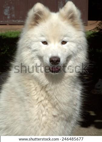 Samoyed portrait. - stock photo