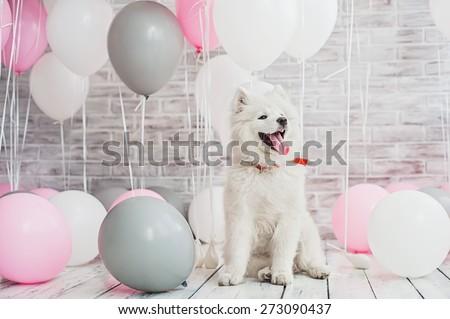 Samoyed puppy with balloons - stock photo