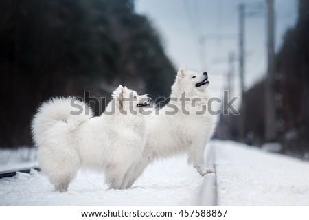 Samoyed white fluffy dog running in cold winter landscape - stock photo