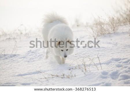 Samoyed white fur dog pet play on snow, winter outdoor - stock photo
