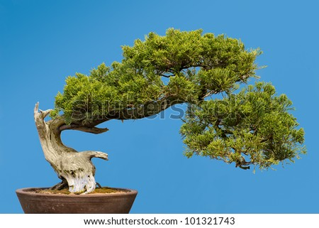 San Jose Juniper (Juniperus chinensis 'San Jose') bonsai - stock photo