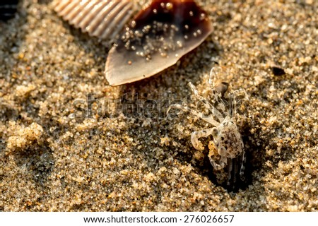 Sand crabs,Focus on baby crab on beach it go out hole and search food,A beautiful pale yellow Horned Ghost Crab hiding in its burrow - stock photo