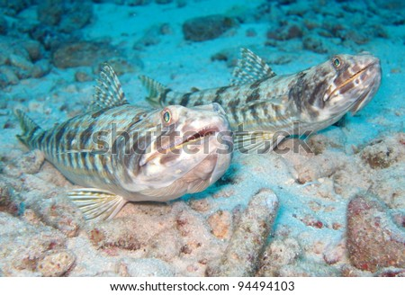 sand diver lizardfishes - stock photo