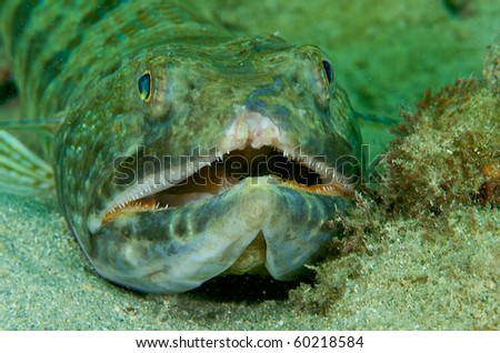 Sand Diver(Synodus intermedius) with a damaged upper lip picture taken in Broward County, Florida. - stock photo