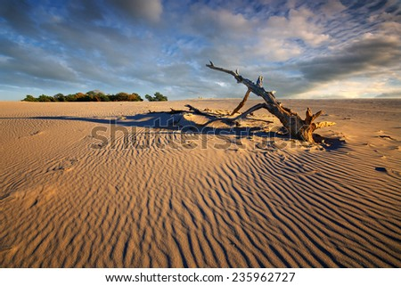 sand dune surrounding dead dried tree trunk sunny hot summer day under blue sky - stock photo