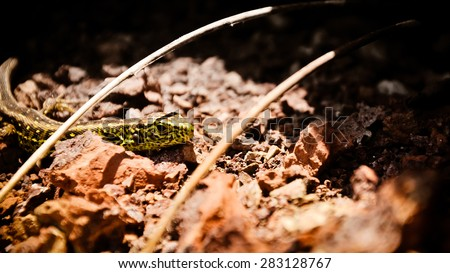 Sand lizard (Lacerta agilis)  male in the Spring Sun. Poland - stock photo