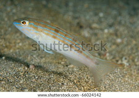Sand Perch-Diplectrum formuson, picture taken in south east Florida. - stock photo