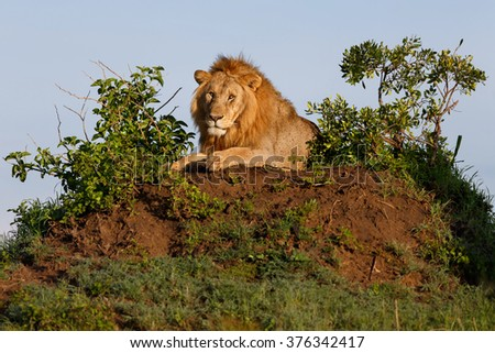 Sand River Lion on a termite mound early in the morning in Masai Mara, Kenya - stock photo
