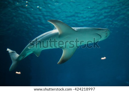 Sandbar shark (Carcharhinus plumbeus). Wild life animal.  - stock photo