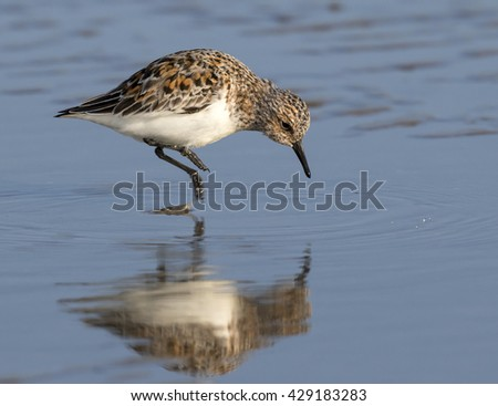 Sanderling (Calidris alba) in summer plumage hunting at the ocean beach, Galveston, Texas, USA. - stock photo
