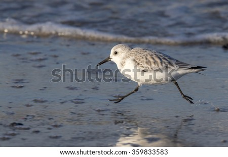 sanderling (Calidris alba) running along the ocean coast, Galveston, Texas, USA. - stock photo