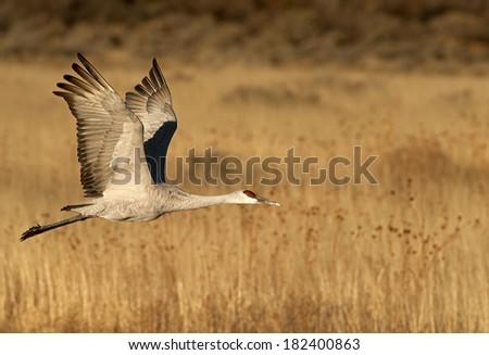Sandhill Crane at Bosque Del Apache - stock photo
