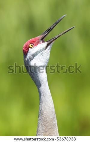 Sandhill Crane calling in Veira Wetlands - stock photo