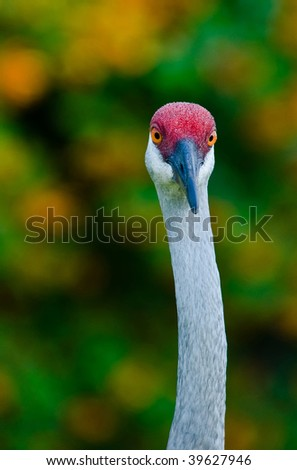 Sandhill Crane Close Up straight on - stock photo
