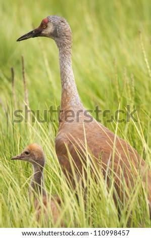 sandhill crane family - stock photo