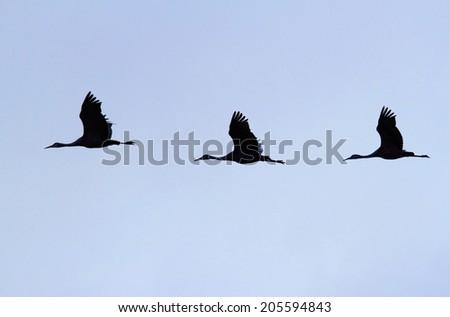 Sandhill Crane (Grus canadensis) in flight at Bosque del Apache in New Mexico - stock photo