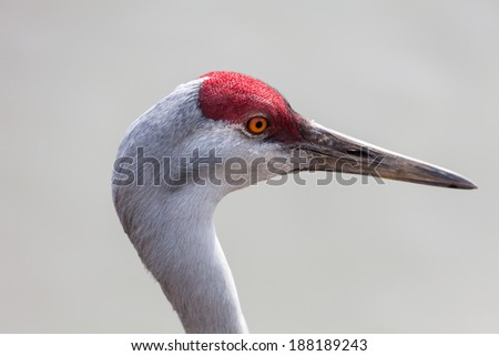 Sandhill Crane head close up - stock photo