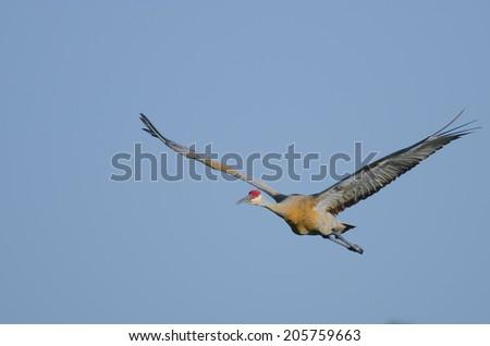 Sandhill crane in flight over blue sky background - stock photo