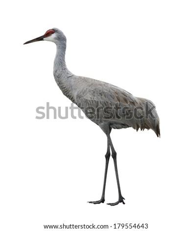 Sandhill Crane, Isolated On White Background - stock photo