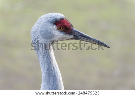 Sandhill crane. Sandhill cranes are fairly social birds that usually live in pairs or family groups through the year. A species of large crane of North America and extreme northeastern Siberia. - stock photo