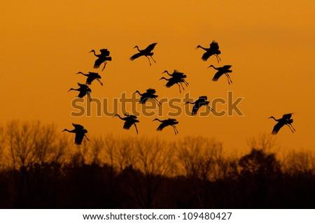 Sandhill Cranes during migration at sunset - stock photo