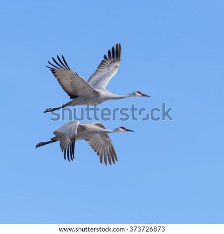 Sandhill Cranes flying in Bosque del Apache National Wildlife Refuge, New Mexico - stock photo