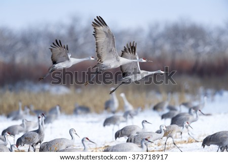 Sandhill Cranes flying in snow field. - stock photo
