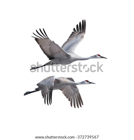 Sandhill Cranes flying, isolated on white. - stock photo