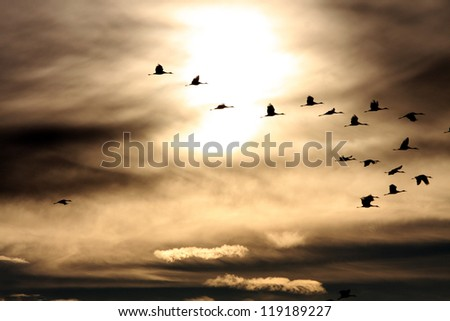Sandhill Cranes in the sunset at dusk. - stock photo