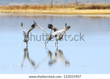 Sandhill cranes taking off at Bosque del Apache national wildlife refuge in New Mexico. - stock photo