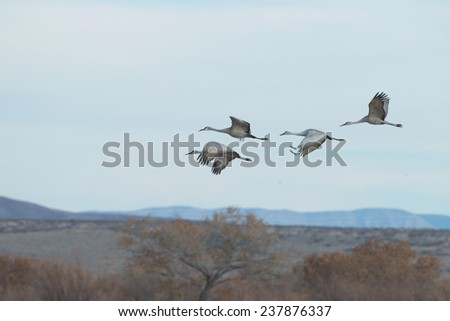 Sandhill cranes with intentional wing blurr at Bosque del Apache National Wildlife Refuge in San Antonio New Mexico - stock photo