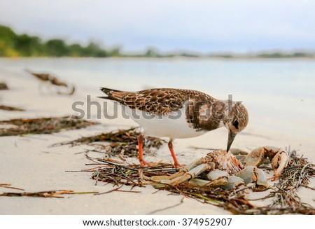 Sandpiper bird eating a crab on an ocean beach. - stock photo
