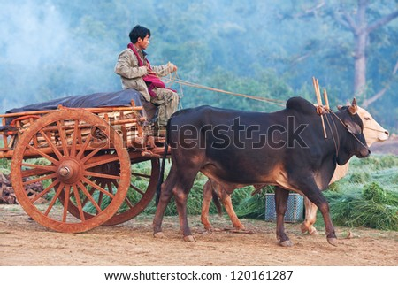 SANGHAR, MYANMAR - JANUARY 17: An unidentified Intha tribe peasant with harness of draughts during the local Htamanu Festival on January 15, 2011 in Sanghar Village, Shan state, Myanmar - stock photo