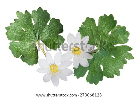 Sanguinaria canadensis (Bloodroot) wild flower isolated on white background - stock photo