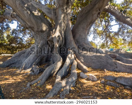 Santa Barbara's Moreton Bay Fig Tree located in Santa Barbara, California is believed to be the largest Ficus macrophylla in the United States. - stock photo