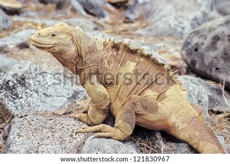 Santa Fe land iguana (Conolophus pallidus) on Santa Fe, Galapagos Islands, Ecuador - stock photo