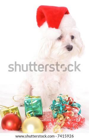 Santa maltese - stock photo