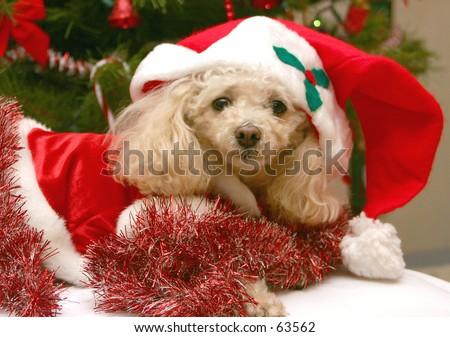 Santa Poodle - stock photo