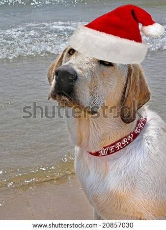 santa pup on beach - stock photo