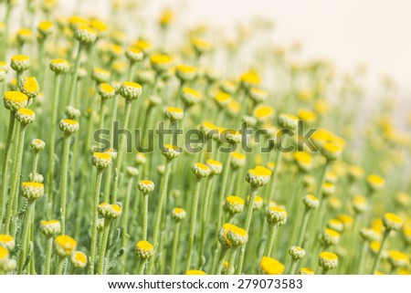 Santolina from the sunflower family, primarily from the western Mediterranean region, sometimes refered to as lavender cotton. - stock photo