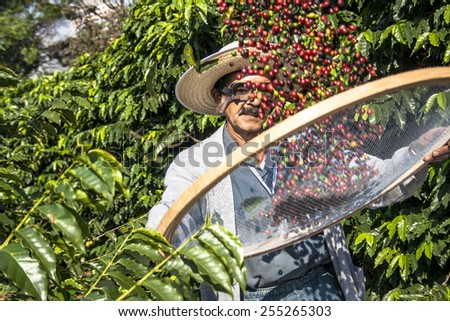 Sao Paulo, Brazil. June 18, 2009. Man harvesting coffee on the orchard of the Biological Institute, the oldest urban coffee plantation in the country, located in Vila Mariana, south of S�£o Paulo - stock photo