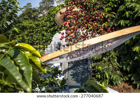 Sao Paulo, Brazil. June 18, 2009. Man harvesting coffee on the orchard of the Biological Institute, the oldest urban coffee plantation in the country, located in Vila Mariana, south of Sao Paulo - stock photo