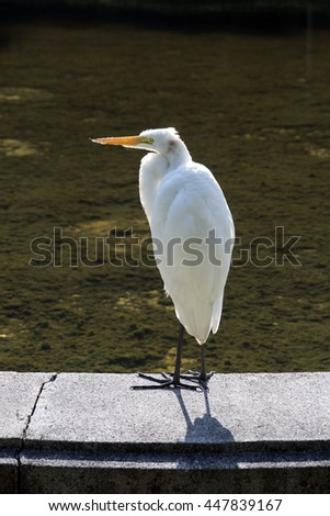 SAO PAULO, SP, BRAZIL - JUNE 26, 2016 - Great egret or common egret, Ardea alba, bird of the Ardeidae family which occurs in Americas, Africa and Asia and very common throughout Brazil - stock photo